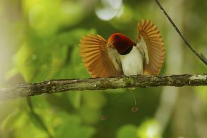 Vogelkopf Peninsula, West Papua, New Guinea, Indonesia by Tim Laman