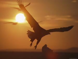 White-Tailed Eagle in Flight, Silhouetted Against the Rising Sun by Tim Laman