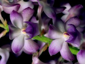 Wild Orchids by Tim Laman
