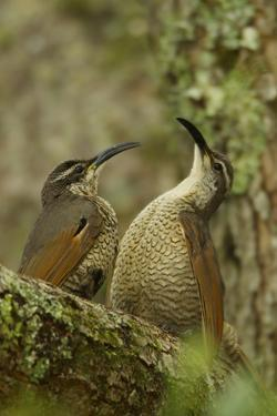 Young Male Paradise Riflebirds Perform Practice Displays to Each Other by Tim Laman