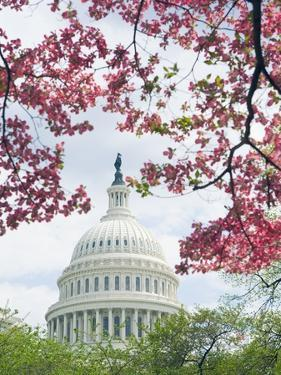 United States Capitol Dome in Washington, D.C. and Flowering Spring Trees by Tim Mcguire