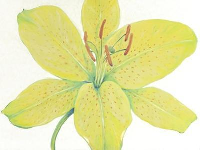 Citron Tiger Lily I by Tim O'toole