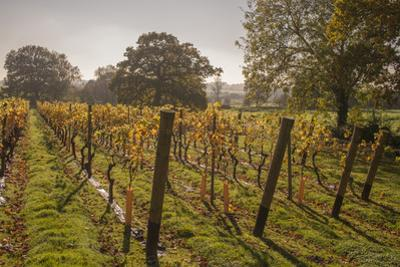 Vineyard, Chapel Down Winery, near Tenterden, Kent, England, United Kingdom, Europe by Tim Winter