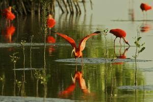 A Group of Scarlet Ibises Feed and Preen in the Water by Mangrove Trees by Timothy Laman