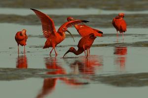 A Pair of Scarlet Ibises Foraging in the Mudflats of the Orinoco River Delta by Timothy Laman