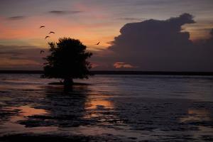 Scarlet Ibises Fly Through the Orange Sky at Sunset over Orinoco River Delta, Venezuela by Timothy Laman
