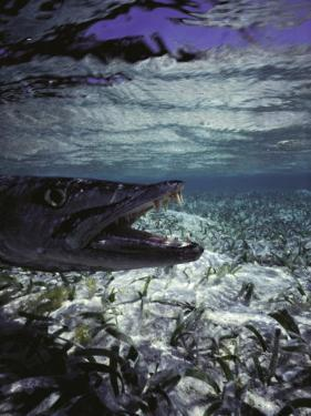 Barracuda in Water by Timothy O'Keefe