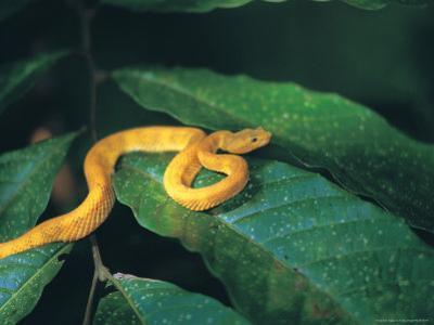 Eyelash Viper Snake by Timothy O'Keefe