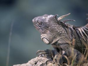 Green Iguana, Bonaire by Timothy O'Keefe