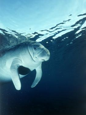 Manatee Underwater by Timothy O'Keefe
