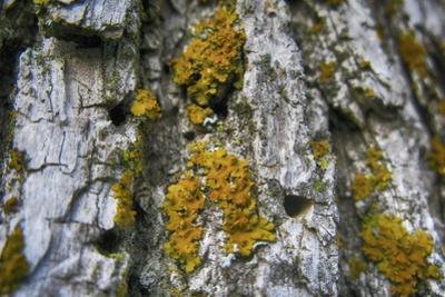Ash Tree and Lichen by Tina Lavoie