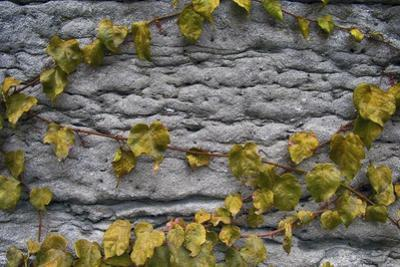 Old Montreal Ancient Wall and Ivy by Tina Lavoie