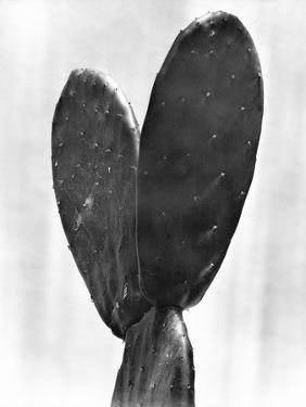 Cactus, Mexico City, 1925 by Tina Modotti