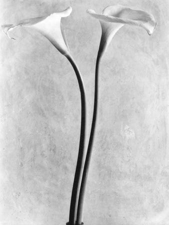 Calla Lilies, Mexico City, 1925