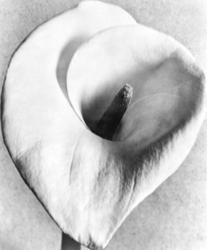 Calla Lily, Mexico City, 1925 by Tina Modotti