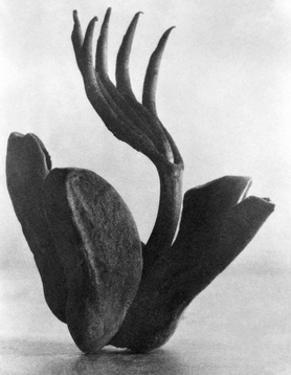 Flor de Manita, Mexico City, 1925 by Tina Modotti