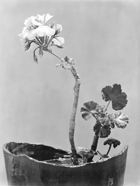 Geranium, Mexico City, c.1924 by Tina Modotti