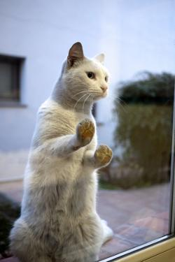 A Cat Pressed Up Against Glass by Tino Soriano