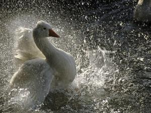 A Duck Splashes in the Water of Lake Banyoles by Tino Soriano