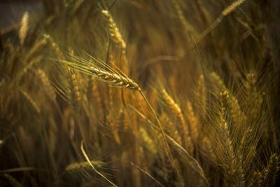 A golden field of wheat. by Tino Soriano