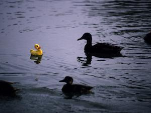 Ducks Approach a Toy Duck Swimming on Lake Banyoles by Tino Soriano