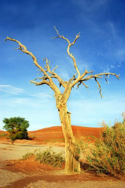 A Dry Tree in the Namib Dessert in Namibia in Africa by tish1