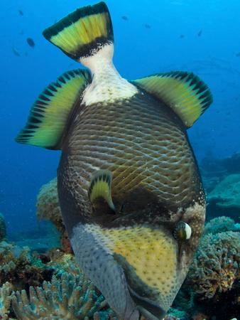 https://imgc.allpostersimages.com/img/posters/titan-triggerfish-picking-at-coral-solomon-islands_u-L-PJ0YKP0.jpg?p=0