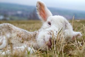 Newborn Lamb by TJ Blackwell