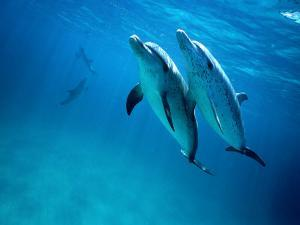 Atlantic Spotted Dolphins, Bimini, Bahamas by Tobias Bernhard