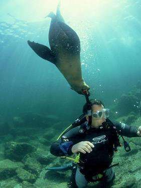 Diver with Californian Sea Lion, Mexico by Tobias Bernhard