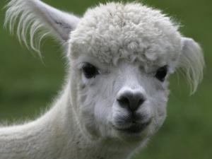 B.C., a 3-Year-Old Alpaca, at the Nu Leafe Alpaca Farm in West Berlin, Vermont by Toby Talbot