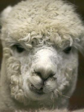 Zephyr Moon, a 2-Year-Old Alpaca, at the Vermont Farm Show in Barre, Vermont, January 23, 2007 by Toby Talbot