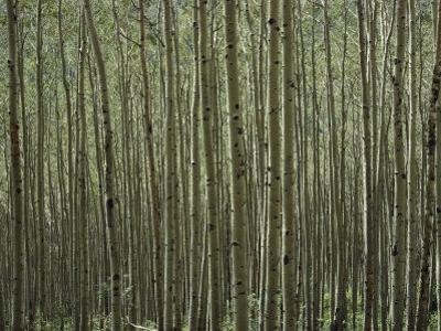 A Dense Forest of Skinny Birch Trees by Todd Gipstein