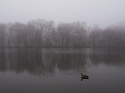 Canada Goose on a Lake in the Fog by Todd Gipstein