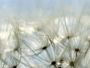 Close View of Dandelion Seeds, Groton, Connecticut by Todd Gipstein