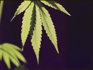 Leaves of a Marijuana Plant by Todd Gipstein