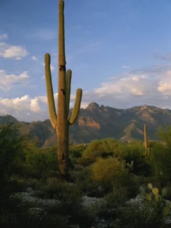 Saguaro Cactus in the Sonoran Desert Landscape by Todd Gipstein