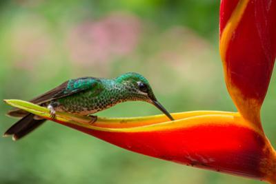 A Green-Crowned Brilliant Hummingbird Feeding by Todd Sowers Photography
