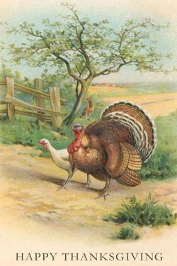 Tom and Hen Turkeys