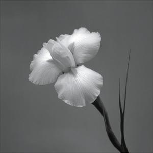Iris II by Tom Artin