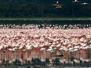 Flamingoes, Lake Nakuru National Park, Kenya by Tom Cockrem
