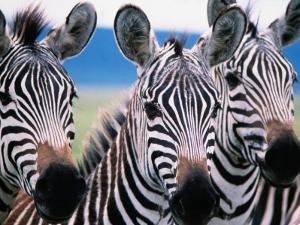 Group of Common Zebras by Tom Cockrem