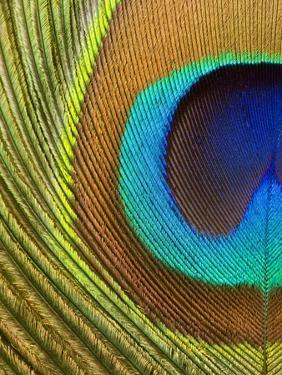 Peacock Feather by Tom Grill