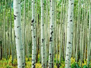 Bigtooth Aspen Trees in White River National Forest near Aspen, Colorado, USA by Tom Haseltine
