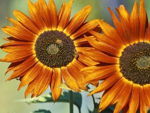 European Honey Bees Pollinating Red Sunflowers, Rhineland-Palatinate, Germany by Tom Haseltine