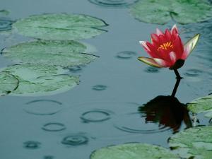Raindrop Patterns Imitate Lily Pad on Laurel Lake, near Bandon, Oregon, USA by Tom Haseltine