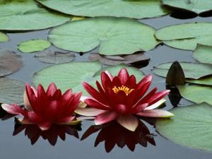 Red Flowers Bloom on Water Lilies in Laurel Lake, South of Bandon, Oregon, USA by Tom Haseltine
