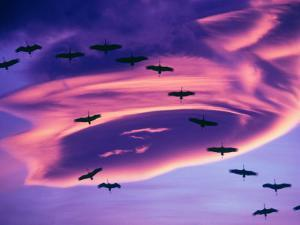 Sandhill Cranes in Flight and Lenticular Cloud Formation over Mt. Shasta, California by Tom Haseltine