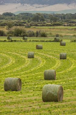 USA, Montana. Bales, or Rounds, of hay in a field that has just been harvested. by Tom Haseltine