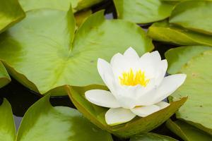 Water lilies blooming and lily pads in a pond. by Tom Haseltine
